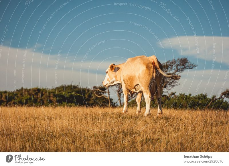 Cow on the field in England Agriculture Forestry Environment Nature Landscape Animal Summer Climate change Field Coast Exceptional Great Britain Cattle