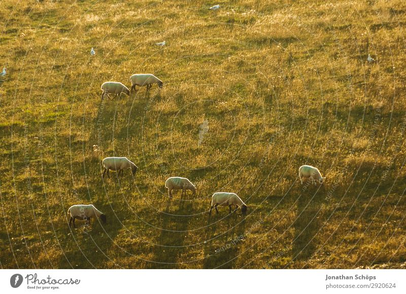Flock of sheep in the evening sun on the field Agriculture Animal Field Farm animal England Great Britain Sheep Sussex Meadow Pasture Foraging Nature Natural