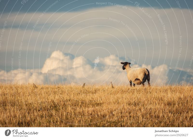 Sheep on a pasture with a view Agriculture Animal Field Farm animal 1 Esthetic England Great Britain Sussex Meadow Pasture Side Foraging Nature Natural