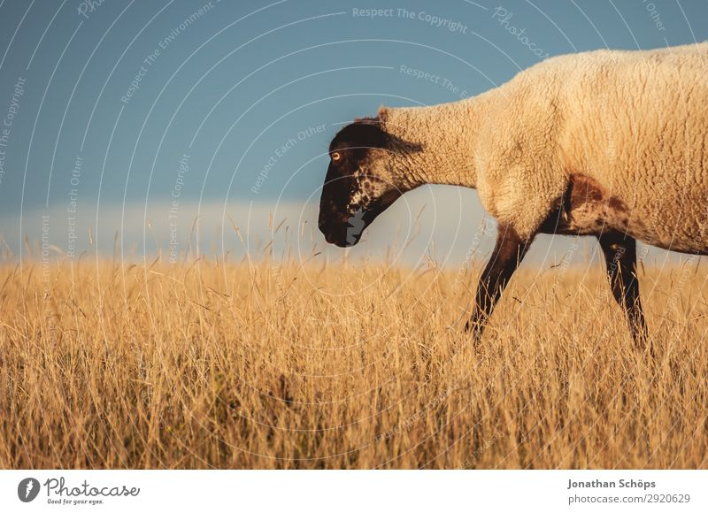 Sheep in a pasture Agriculture Animal Field Farm animal 1 Esthetic England Great Britain Sussex To feed Meadow Pasture Side Foraging Meat Nature Natural