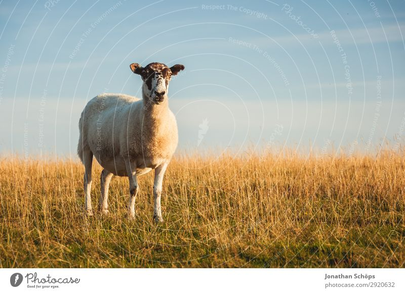 Sheep in a pasture Agriculture Forestry Animal Field Coast Farm animal 1 Esthetic England Great Britain Sussex To feed Meadow Pasture Side Foraging Meat Nature