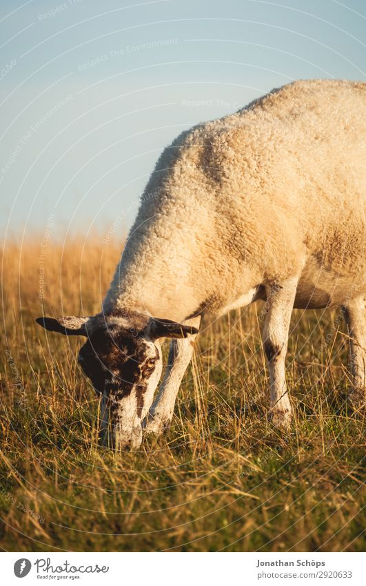Sheep eating in a meadow Agriculture Forestry Animal Field Coast Farm animal 1 Esthetic England Great Britain Sussex To feed Meadow Pasture Side Foraging Meat
