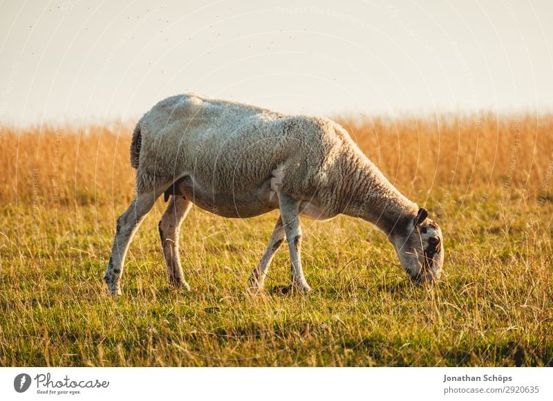 Nature Animal Natural Meadow Coast Field Esthetic Agriculture Farm Pasture Pelt Mammal Meat Sheep To feed Side
