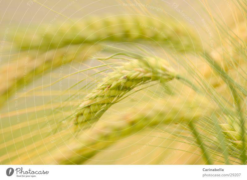 Barley I Ear of corn Plant Field Grain
