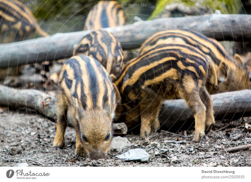 Nature Animal Forest Black Baby animal Yellow Brown Earth Wild animal Group of animals Dangerous Pelt Hunting To feed Striped Forestry