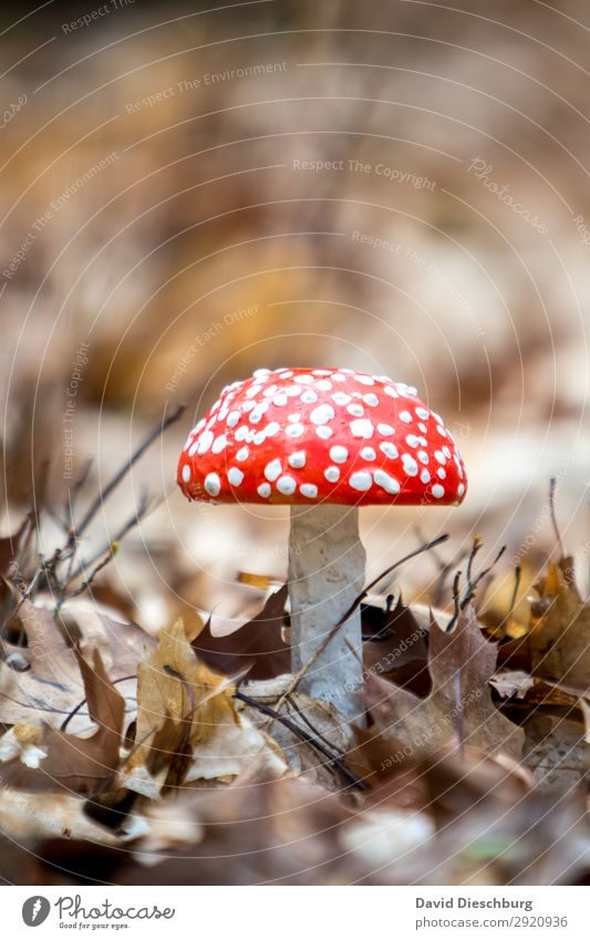 fly agaric Nature Landscape Spring Summer Autumn Beautiful weather Plant Wild plant Garden Park Meadow Forest Virgin forest Brown Yellow Red White