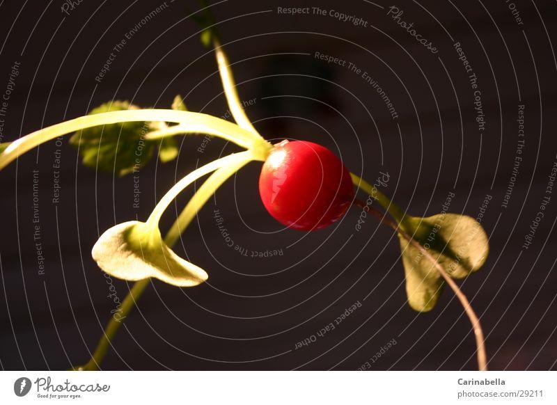 Radish I Bulb Red Vegetable Root Leaves