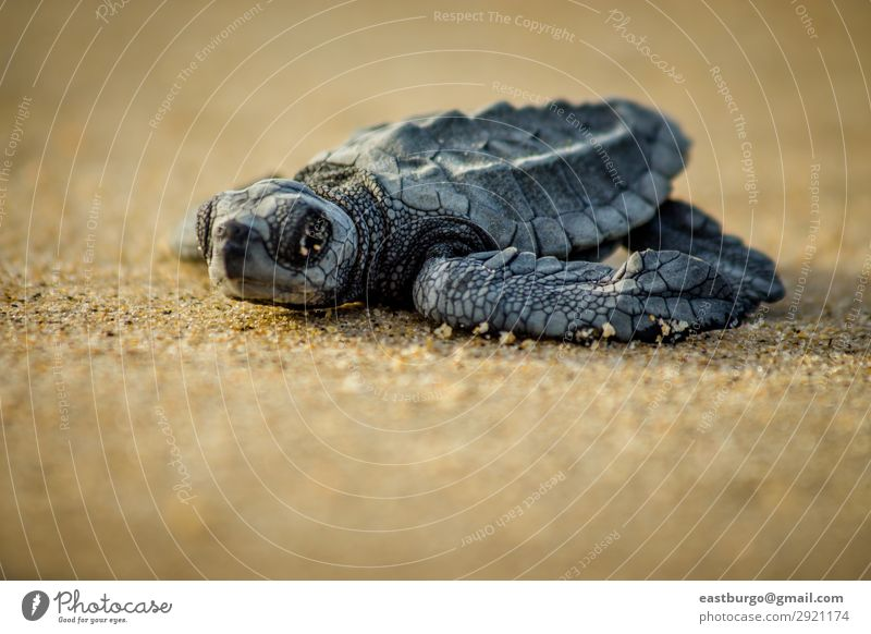 A baby sea turtle struggles for survival after hatching Nature Ocean Animal Beach Small Sand Wild Baby Living thing Horizontal Reptiles Shell Mexico Hatch