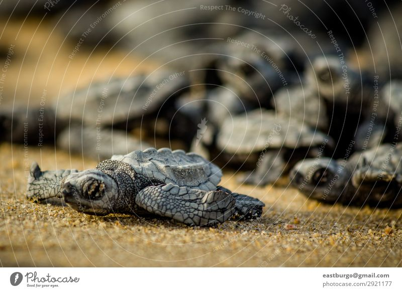Baby sea turtles struggle for survival after hatching in Mexico Nature Ocean Animal Beach Small Sand Wild Living thing Chaos Horizontal Reptiles Shell Hatch