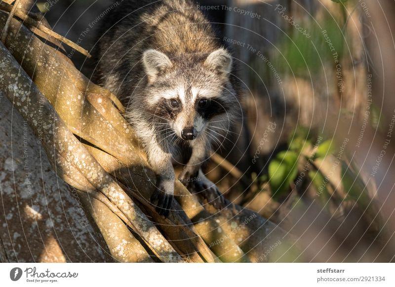 Young chubby raccoon Procyon lotor hunts for food Nature Animal Tree Wild animal Animal face 1 Cute Gray Black Raccoon northern raccoon common raccoon