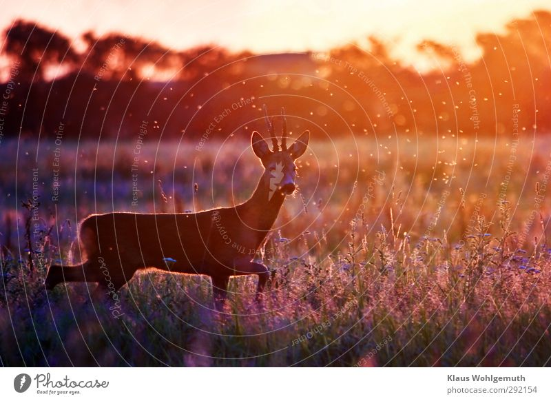 cautious Summer Environment Landscape Beautiful weather Grass Foliage plant Meadow Field Red-haired Roe deer reindeer buck 1 Animal Natural Blue Brown Yellow