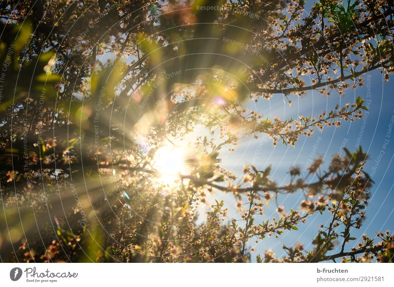 Spring sun, blossoming fruit tree Nature Sunlight Beautiful weather Plant Tree Blossom Garden Happiness Fresh Peace Help Hope Environment Fruit trees Branch