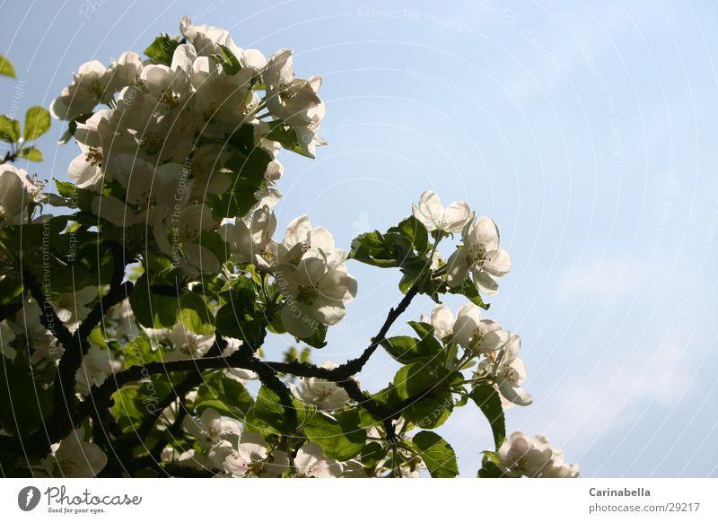 apple tree blossoms Apple tree Tree Treetop Leaf Blossom Apple blossom Branch