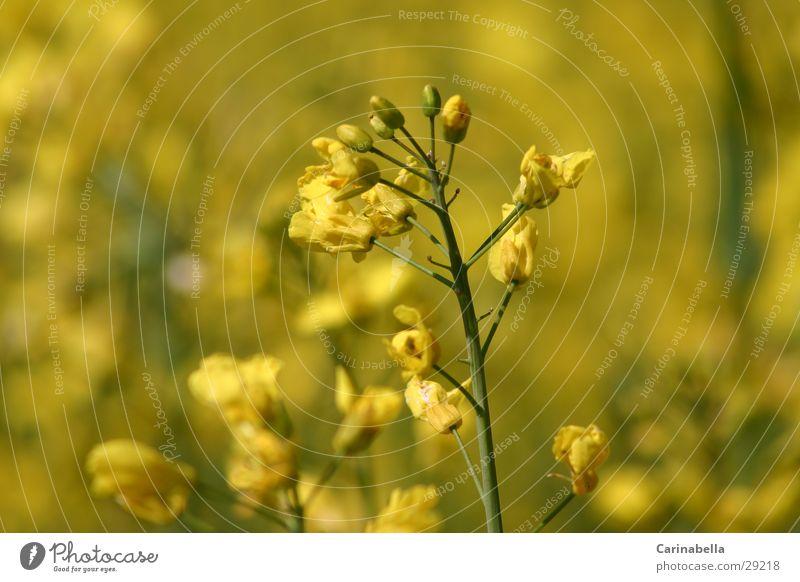 Plant Yellow Blossom Blossoming Canola Canola field Oilseed rape flower