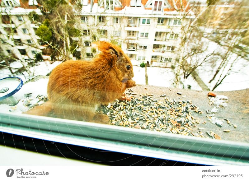 City Animal Winter House (Residential Structure) Window Eating Wild animal Contentment Cute Help Curiosity Appetite Grain Cuddly Feeding Squirrel