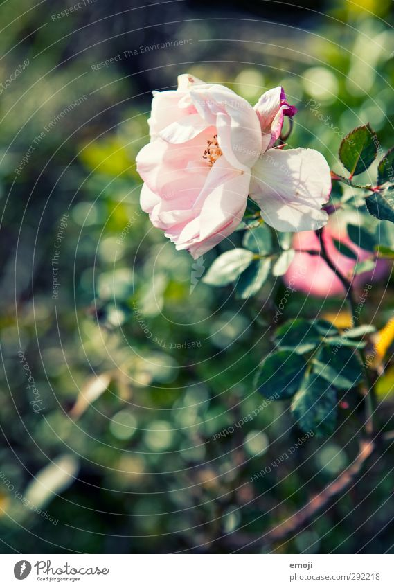 Nature Green Plant Flower Environment Spring Natural Pink Beautiful weather Rose Fragrance