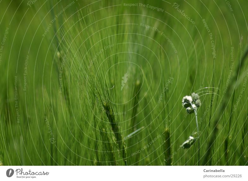 barley Barley Green Ear of corn Field Grain