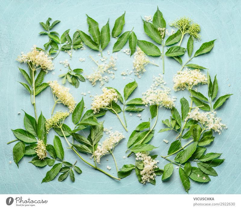 Elderflowers branches with leaves on light blue background, top view. Blossom of elder. Flat lay elder flowers blossom flat lay overhead above white natural