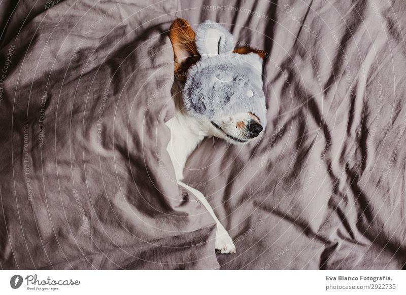 cute small dog lying on bed and wearing a sleeping mask Lifestyle Relaxation Summer Flat (apartment) House (Residential Structure) Bed Bedroom Animal Autumn Pet