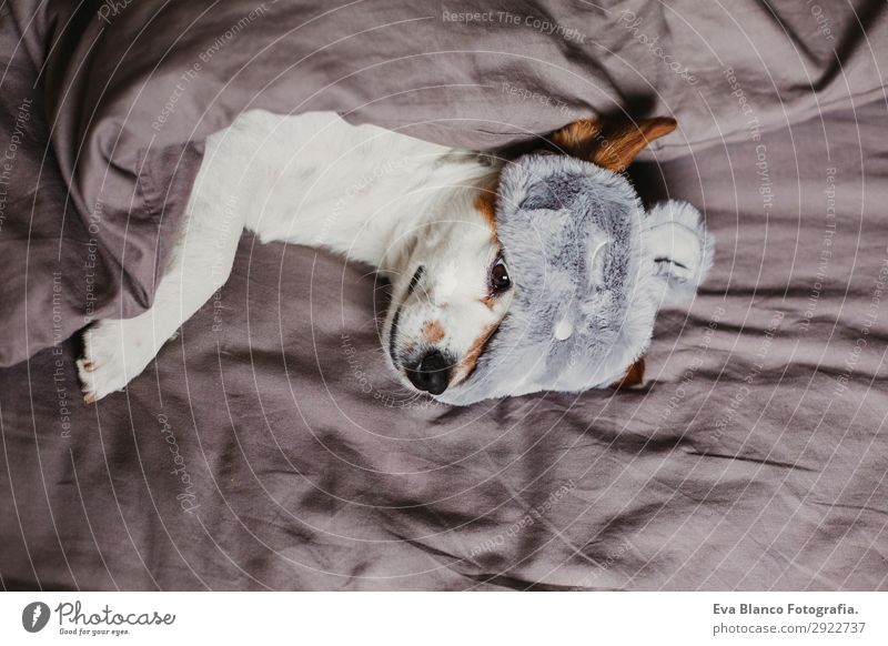 cute small dog lying on bed and wearing a sleeping mask Dog Summer House (Residential Structure) Relaxation Animal Lifestyle Autumn Funny Small Gray