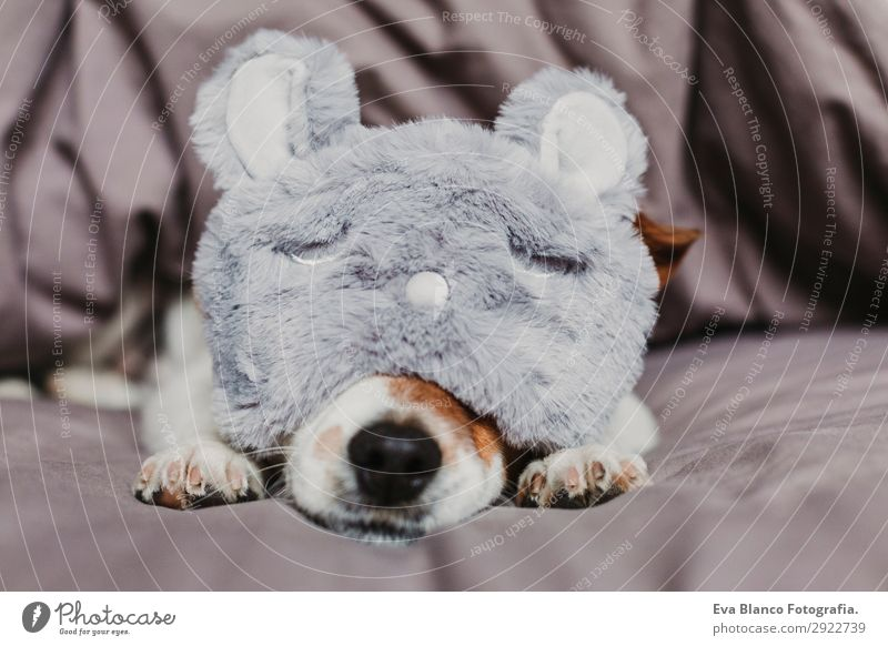 cute small dog lying on bed and wearing a sleeping mask Lifestyle Relaxation Summer Flat (apartment) House (Residential Structure) Bed Room Bedroom Animal