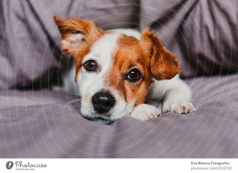 cute small dog lying on bed and feeling bored or tired Happy Beautiful Face Winter House (Residential Structure) Bed Animal Autumn Pet Dog 1 Sleep Wait Small