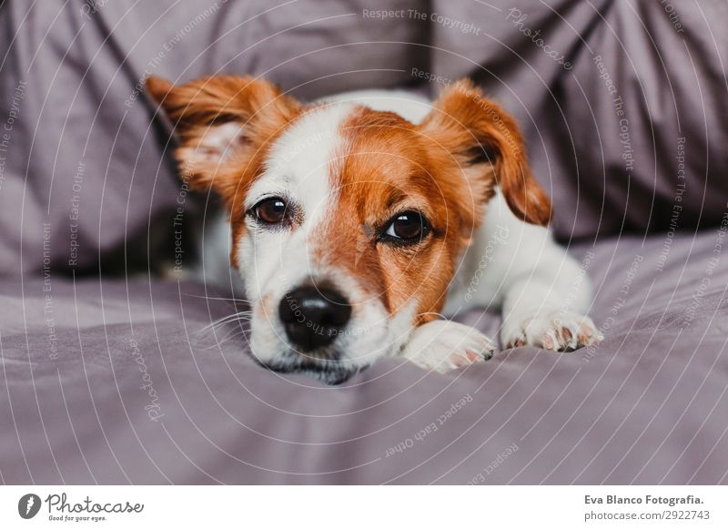cute small dog lying on bed and feeling bored or tired Dog Beautiful White House (Residential Structure) Animal Winter Face Autumn Happy Small Gray Sit Wait