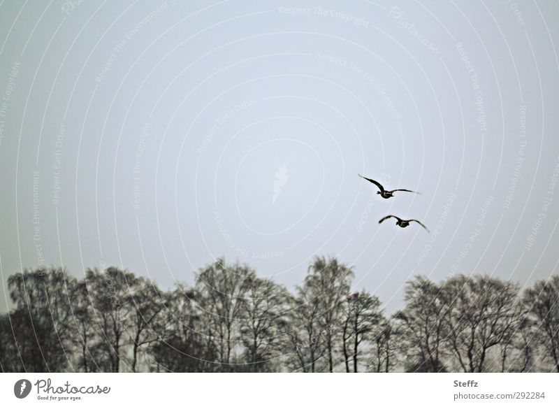 aerial Nature Winter Tree Treetop Leafless Edge of the forest Bird Wing Wild goose Wild bird 2 Animal Pair of animals Flying Natural Gray Movement Freedom