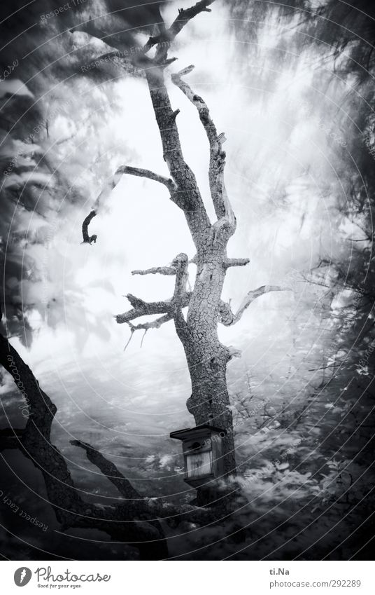 Old houses, Mr. von Ribbeck. Tree Pear tree Garden Hang To dry up Growth Broken Natural Gray Black White Nesting box Black & white photo Exterior shot