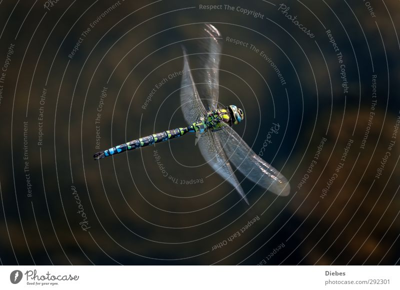 Blue-green Mosaic Maidenfly Wild animal Dragonfly 1 Animal Flying Elegant Fantastic Speed Esthetic Movement Uniqueness Nature Environment Colour photo