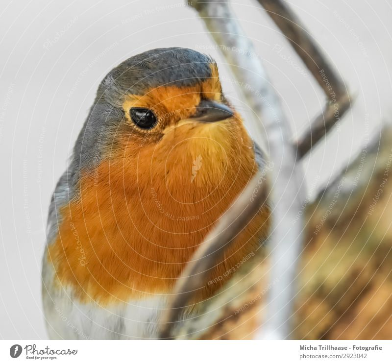 Robin portrait Nature Animal Sunlight Beautiful weather Tree Twigs and branches Wild animal Bird Animal face Wing Robin redbreast Eyes Beak Feather Plumed 1