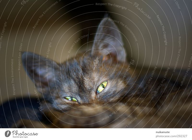 is what? Pet Cat Animal face 1 Baby animal Observe Listening Lie Looking Sleep Cuddly Curiosity Smart Brown Gray Green Black Safety (feeling of) Peaceful