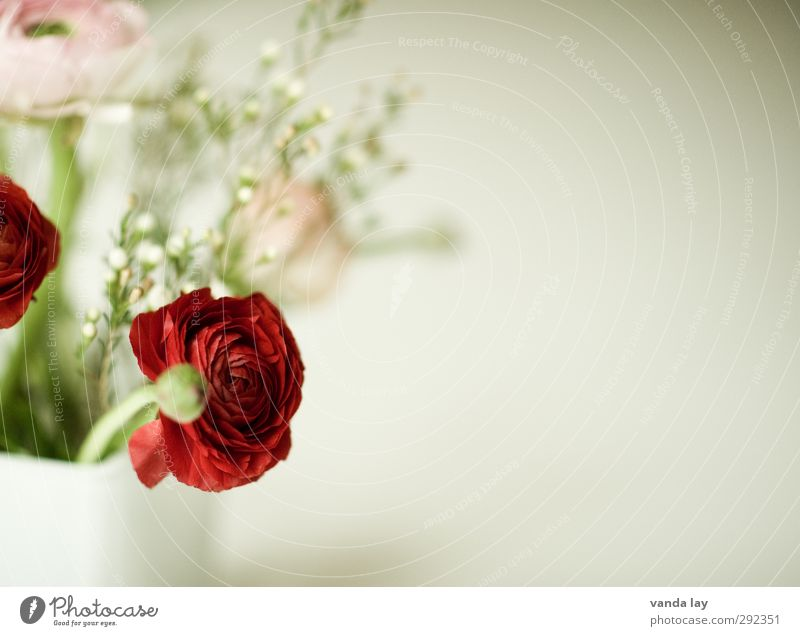 spring greeting Plant Flower Buttercup Red Vase Bouquet Blossom Colour photo Close-up Detail Deserted Copy Space right Blur Shallow depth of field