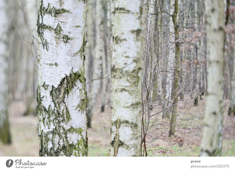 birches Environment Nature Landscape Plant Winter Tree Forest Gray White Birch tree Birch wood Tilt-Shift Tree bark Colour photo Exterior shot Deserted Day Blur
