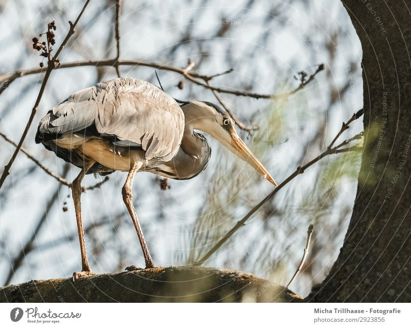 Heron in tree Nature Animal Sky Sunlight Beautiful weather Tree Twigs and branches Wild animal Bird Animal face Wing Claw Grey heron Beak Feather Plumed Legs