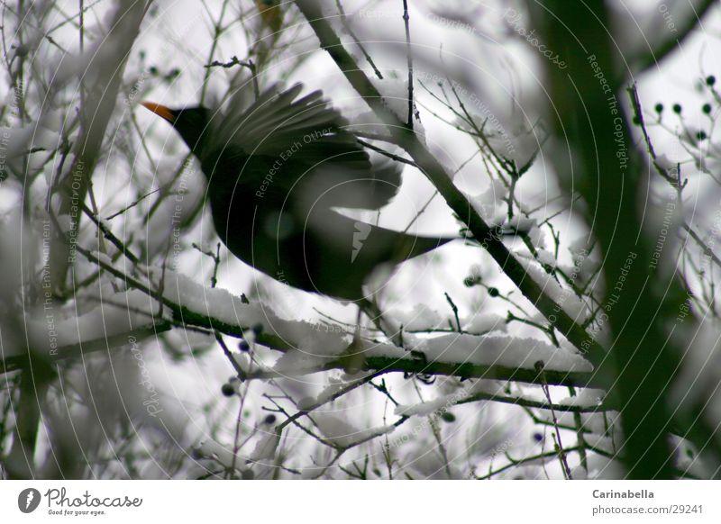 Bird starting Blackbird Beginning winter bird fly away