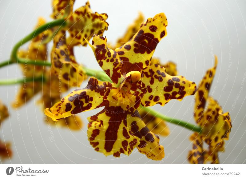orchid Plant Flower Orchid Blossom