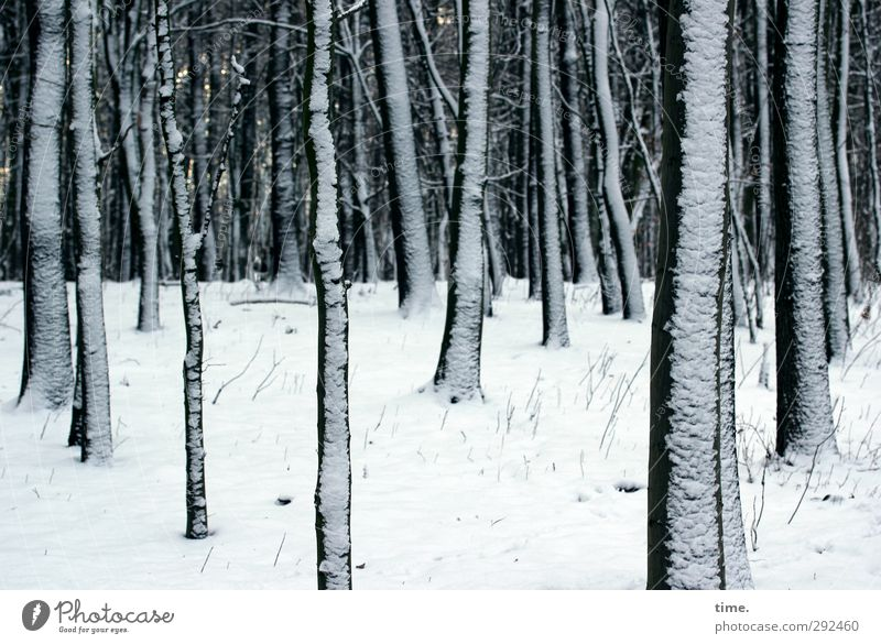 Nature Plant Tree Winter Calm Forest Environment Cold Snow Together Climate Elegant Large Multiple Change Branch