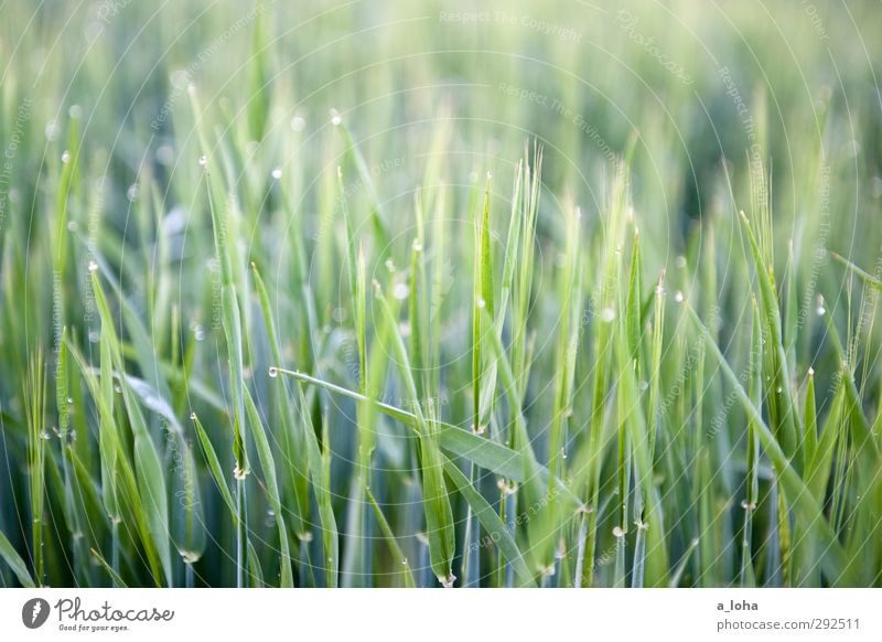 Nature Green Water Plant Environment Meadow Grass Line Natural Field Growth Wet Drops of water Pure Grain