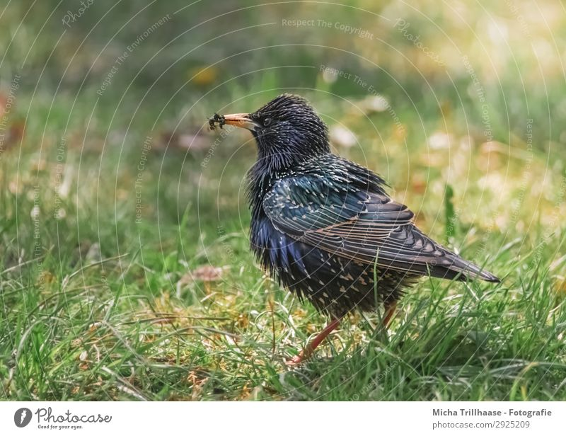 Star with flies in its beak Nature Animal Sun Sunlight Beautiful weather Grass Meadow Wild animal Bird Animal face Wing Starling Beak Feather Plumed Eyes 1