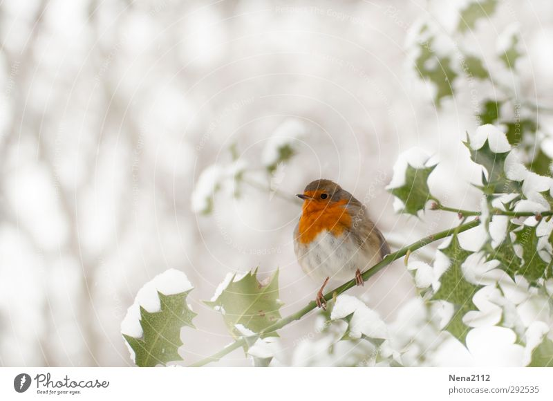 robin Nature Plant Animal Winter Weather Bad weather Ice Frost Snow Bushes Leaf Forest Wild animal Bird 1 Cold Thorny Red White Robin redbreast Holly Ilex
