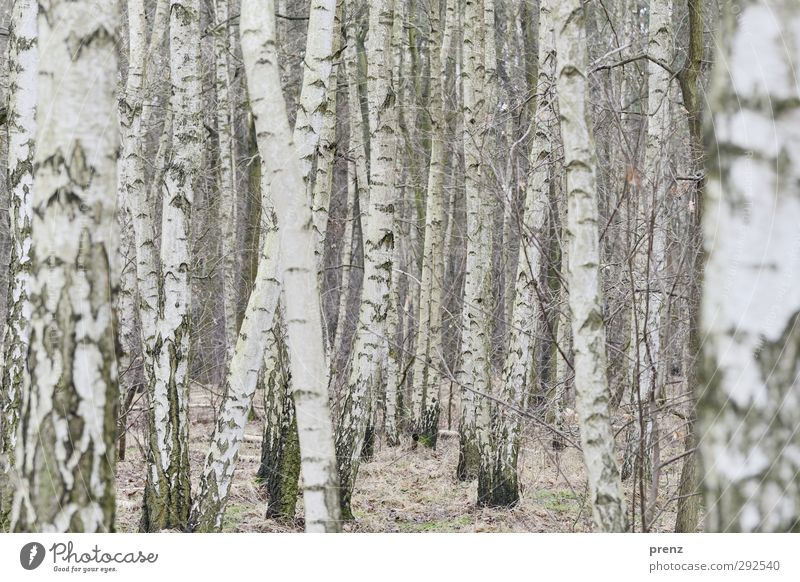 X Environment Nature Landscape Plant Forest Gray White Birch wood Birch tree Line Colour photo Exterior shot Deserted Day