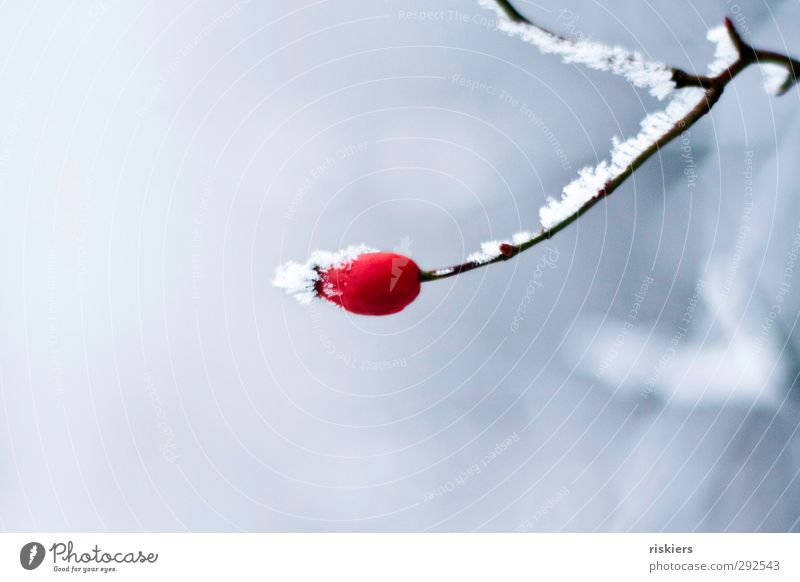 red Environment Winter Ice Frost Snow Plant Rose hip Forest Red Power Calm Loneliness Idyll Cold Colour photo Exterior shot Copy Space top Copy Space bottom Day