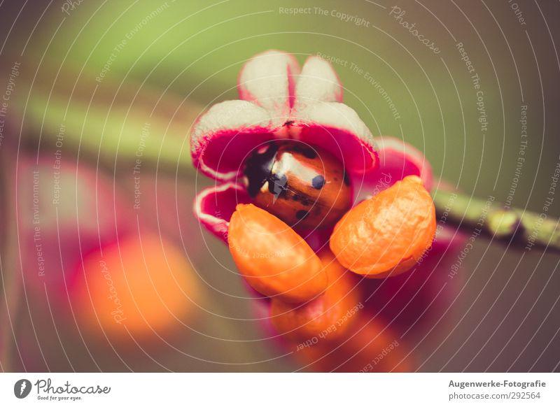 ladybugs Nature Plant Animal Summer Autumn Flower Bushes Wild plant Beetle Ladybird 1 Cute Orange Pink Red Protection Safety (feeling of) Colour photo
