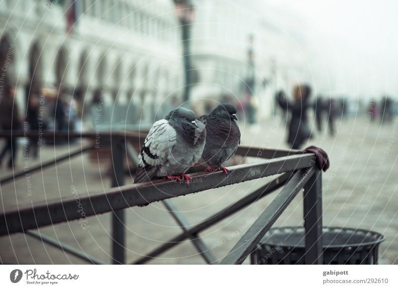 Marco's Pigeons Bad weather Rain Venice St. Marks Square Piazza San Marco Places Animal 2 Cold Gloomy Colour photo Subdued colour Exterior shot Day Light