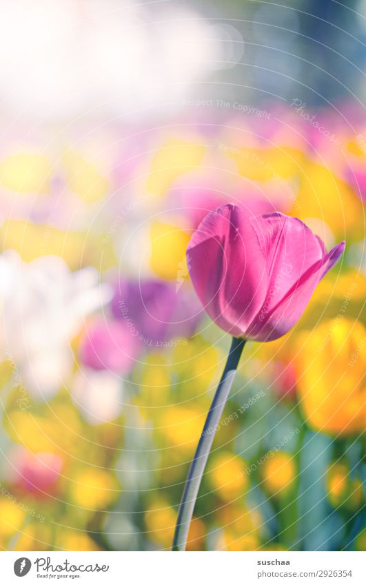 tulips Flower Tulip Blossom Meadow Exterior shot Spring Summer sunshine Beautiful weather Garden Park Environment Nature Landscape landscape gardening Plant