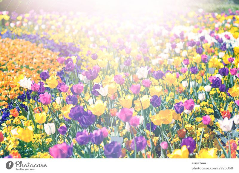 many tulips Flower Tulip Blossom Stalk Meadow Exterior shot Spring Warmth Seasons Summer sunshine Beautiful weather Garden Park Environment Nature Landscape