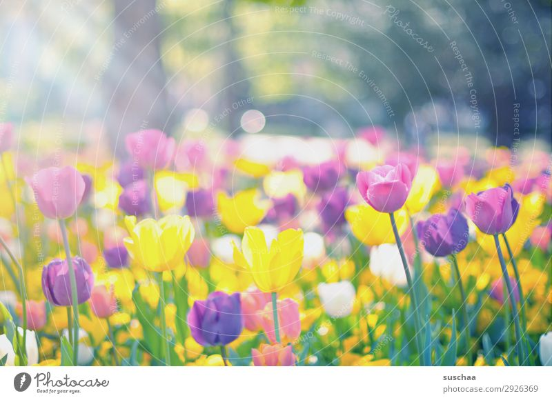 tulips Flower Tulip Blossom Stalk Meadow Exterior shot Spring Warmth Seasons Summer sunshine Beautiful weather Garden Park Environment Nature Landscape