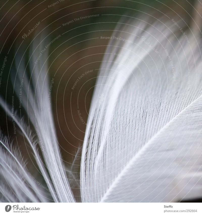 light as a feather tousled Nature Bird Feather Wing Natural Beautiful Soft White Ease Hover Smooth Easy Macro (Extreme close-up) Downy feather Delicate