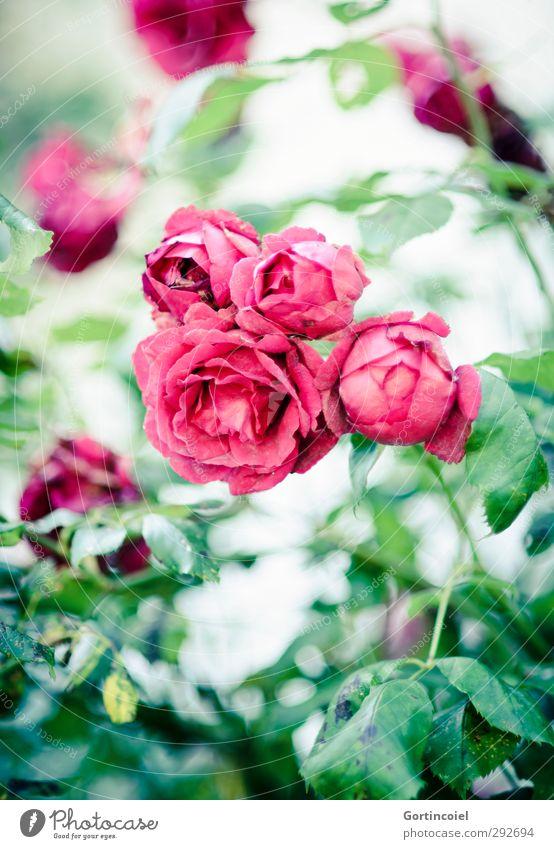 Nature Green Beautiful Summer Plant Red Blossom Rose Blossom leave Rose leaves Rose blossom Rose garden